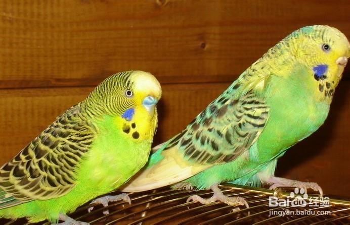 虎皮鹦鹉公母分辨图_虎皮鹦鹉不同年龄雌雄分辨