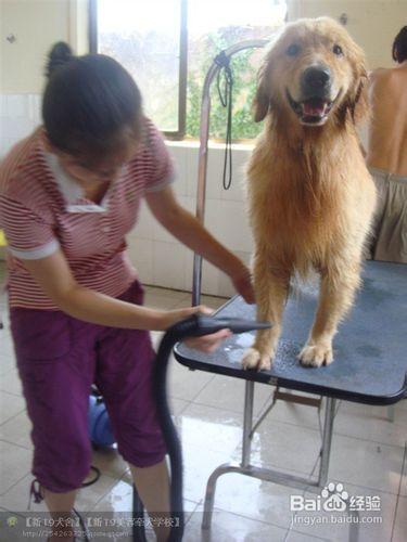 金犬常美容的十个步骤