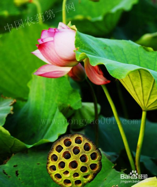 藕的生长过程简笔画-莲藕种植技术 杂草与病虫害防治方法