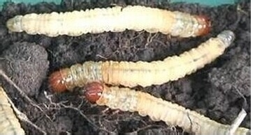 冬虫夏草是虫还是草(冬虫夏草的形成条件)图片