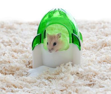仓鼠在嘴巴里储存食物 小仓鼠在它的房子里 仓鼠在笼子里怎样喂养