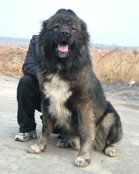 大型犬品种大全_温顺的大型狗图片_中型犬的品种 ...
