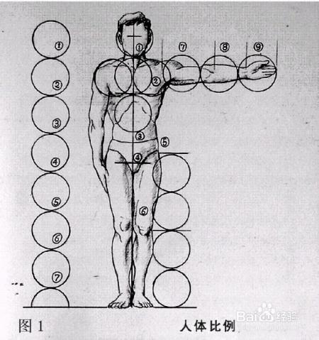 体的结构主要指骨骼和肌肉的组织规律,以及基本体块的构成与运动关
