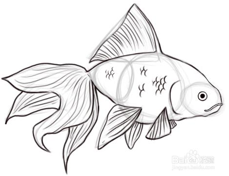 如何画金鱼,画金鱼教程图片