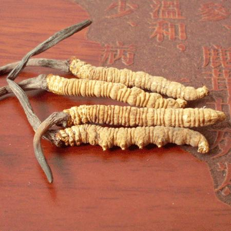 冬虫夏草的功效与作用及食用方法