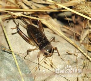 捕捉蟋蟀要掌握的技巧