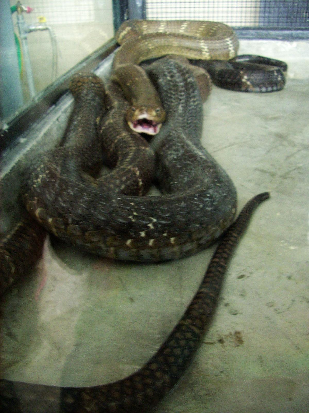传说蛇的交配