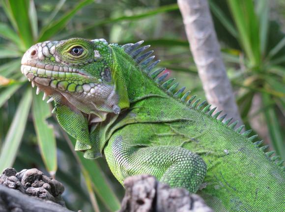 小安德烈斯岛鬣蜥(学名:iguana delicatissima)