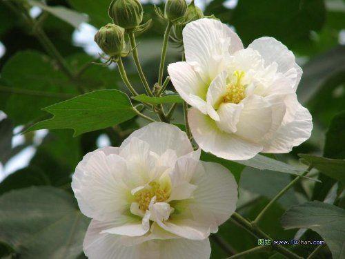 各种花的英文名称及含义图片-法国玫瑰 法国玫瑰 爵士白 法国玫瑰的英