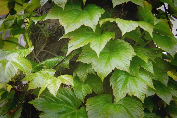 wisteria flower photos