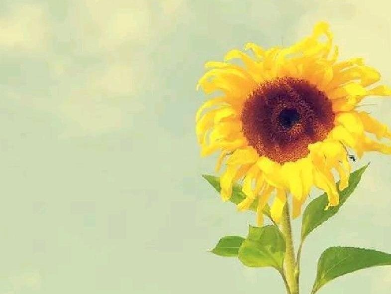 向日葵花卉