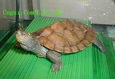成年石龟价格 - 迦南新闻网