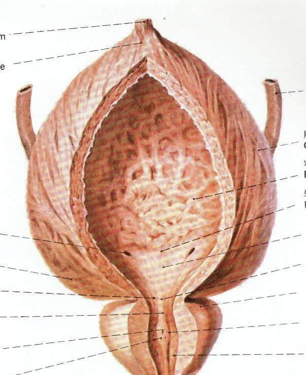 膀胱图 6  膀胱壁由粘膜