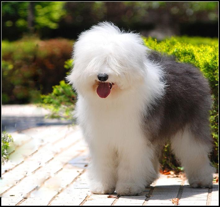 沧州人有买古牧犬的吗?2个月大图片