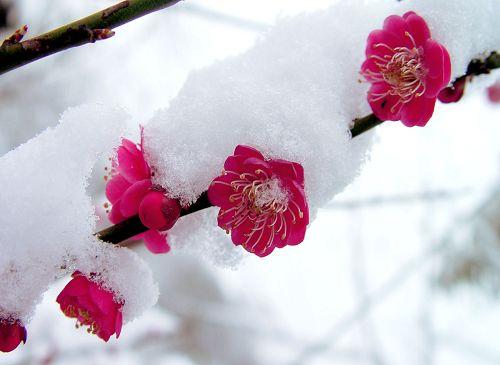 梅花图片 - 雪中观梅 - xuezhongmei的博客