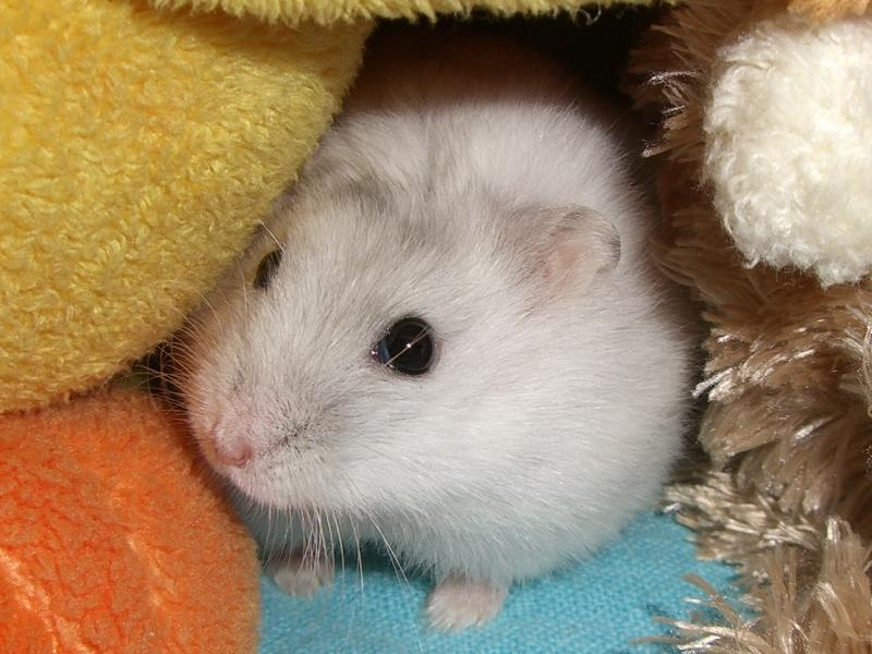 笼子里住了个小仓鼠图片