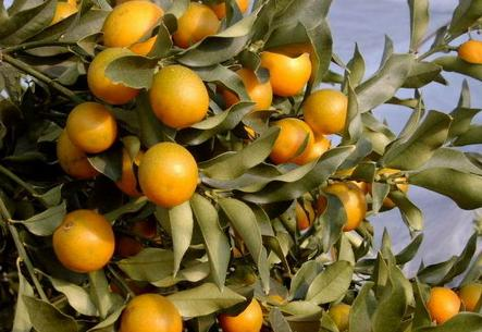 琥珀蜂蜜金橘 - 泉明 - 美丽因健康而绽放 优雅因广博而浩远