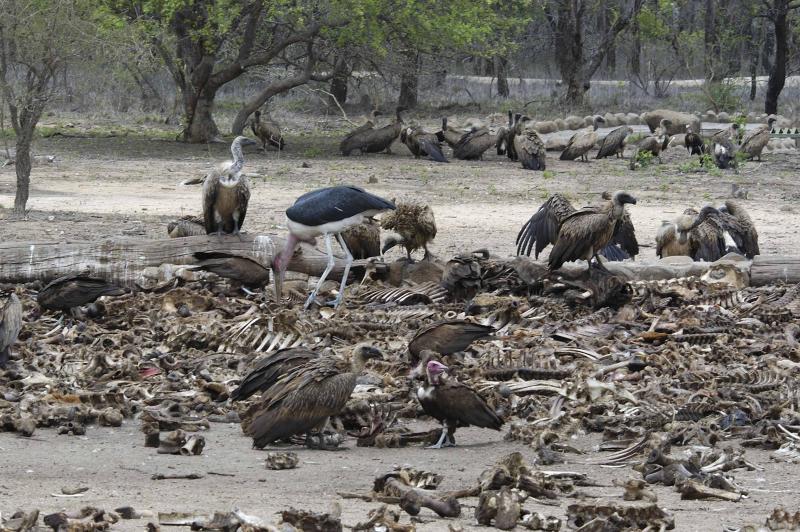 秃鹫的尸体谁来吃?