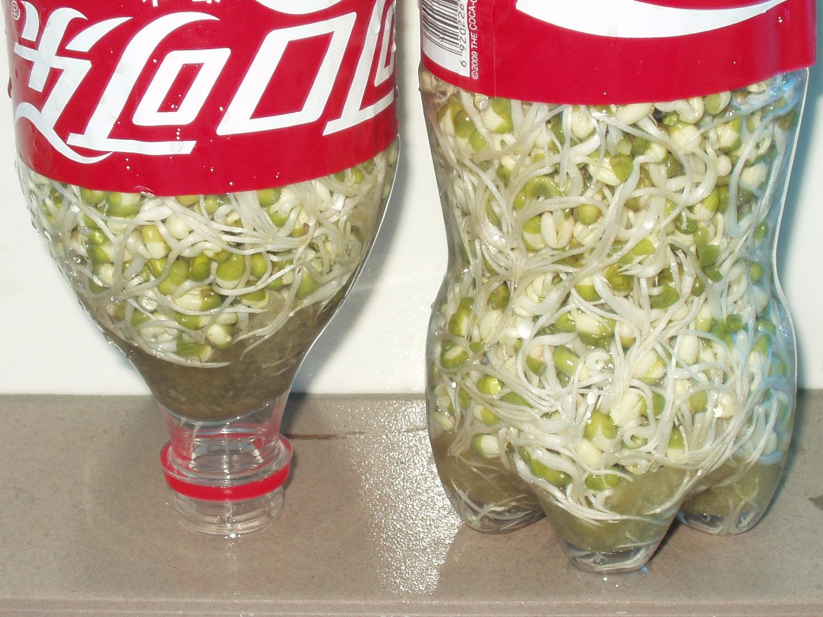 做豆芽就这么简单. 相关图片: 用可乐瓶培养36小时状况 问答: 1.