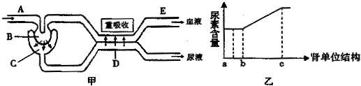 其中a,b,c,d分别表示肾的不同结构;图乙表示此人肾单位各结构中尿素图片