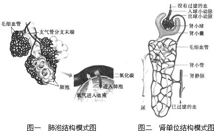 图一为肺泡结构模式图,图二为肾单位结构模式图,请据图回答下列问题图片
