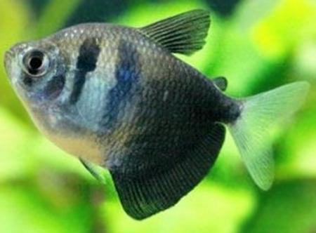 黑裙鱼 怎么分公母图片