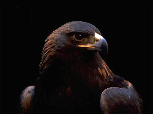 hd wallpaper eagle