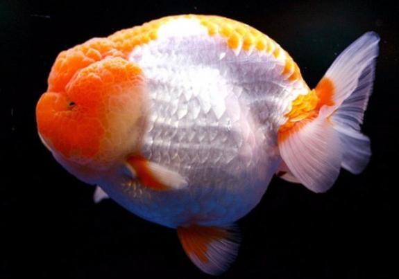 蓝色兰寿金鱼图片_兰寿的起源(转)【金鱼吧】_百度贴吧