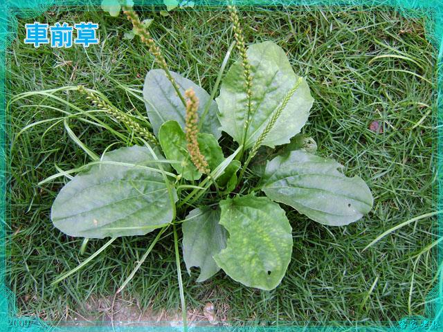 车辙菜_回复:咱这有种野菜----马齿菜,既能治病,又是一道美味佳肴 ...