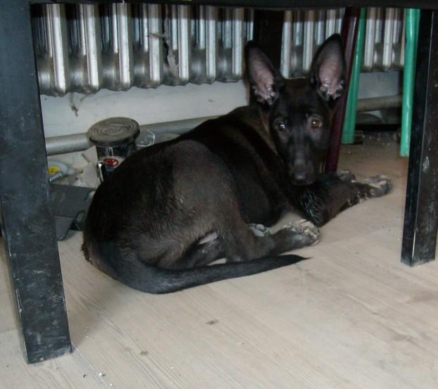 纯黑马犬图片_大家看看这条纯黑马犬,欢迎拍砖_马犬吧_百度贴吧