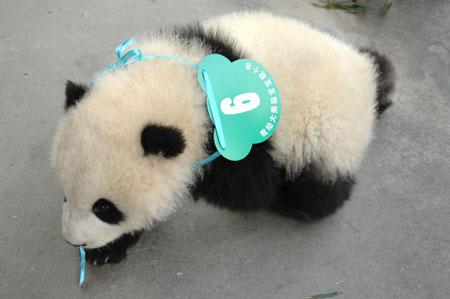 大的样子_【熊猫首页】熊猫界第一大美女吃货党党主席思嘉,思主席图片