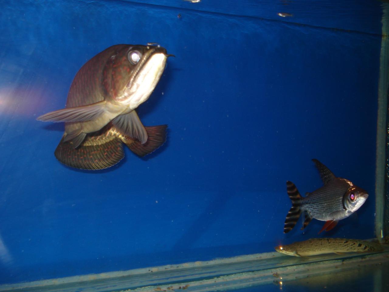 龙虎凤鱼_我的双层鱼缸(更新)【观赏鱼吧】_百度贴吧