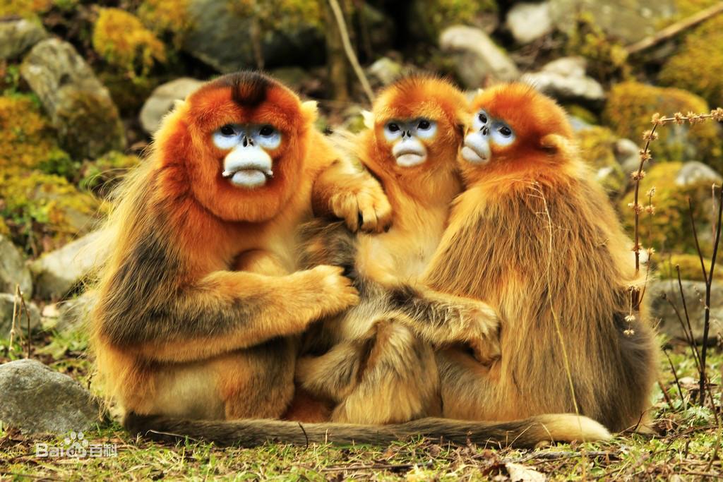 金丝猴图片_金丝猴图片_百度百科