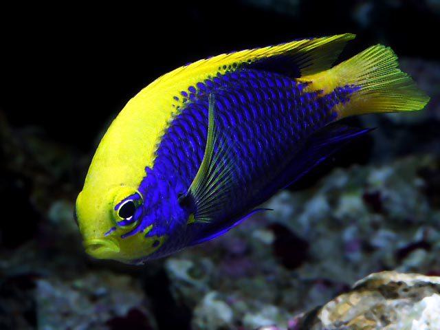 雀鯛生活在熱帶海洋中,是十分美麗的魚,體形像鯛,但卻不屬于鯛科,身軀圖片