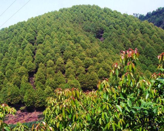 关于林��h���9�-z)�bi_生于常绿阔叶林中.