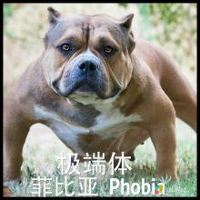 美國惡霸犬圖片