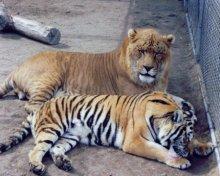 狮虎兽和虎狮兽谁大_狮虎兽_百度百科