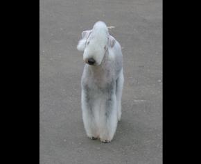 梗犬_贝林登梗犬
