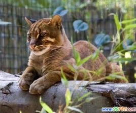 亚洲金猫_亚洲金猫