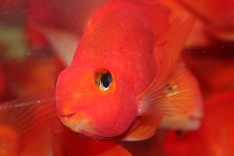 Blood Red Parrot Fish | Tropical Fish Forums