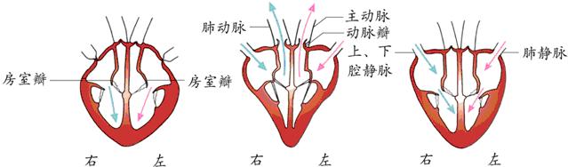 欧美最大胆裸体囹�a_心脏就是这样周而复始的跳动着.a,b,c,d示心脏的四个腔.