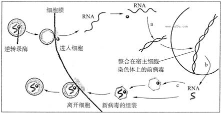 改�b�c���,y�9�c:(_图a,b,c分别代表人类免疫缺陷病毒(hiv)增殖过程中的部分步骤.