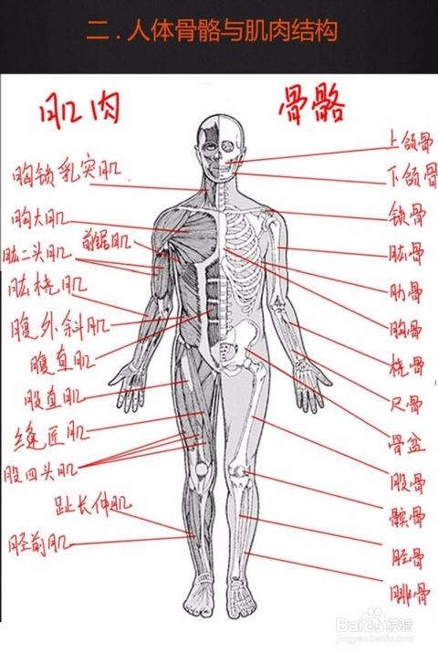 背部身体结构_人体腰骨骼结构图-人背部骨骼示意图-人背骨骼示意图-人体骨架