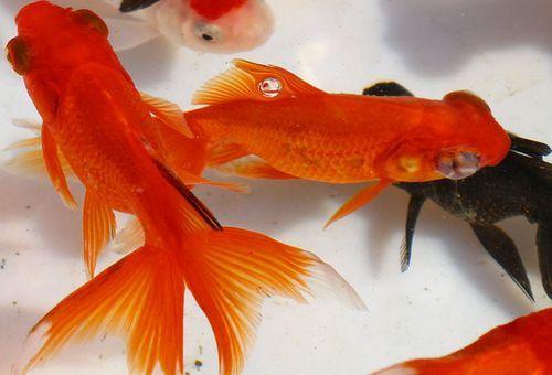 家庭怎样养金鱼视频_家庭如何养观赏鱼_百度经验