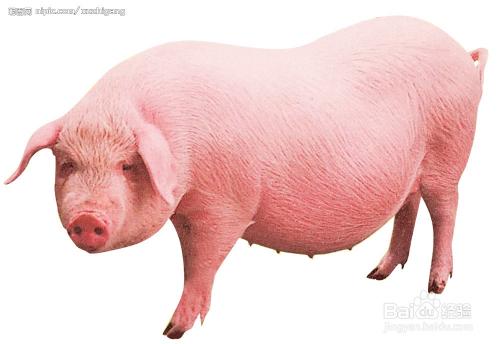 猪一类疫病_猪口蹄疫的治疗方法_百度经验