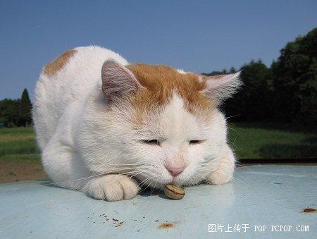 日本田园猫_猫大叔