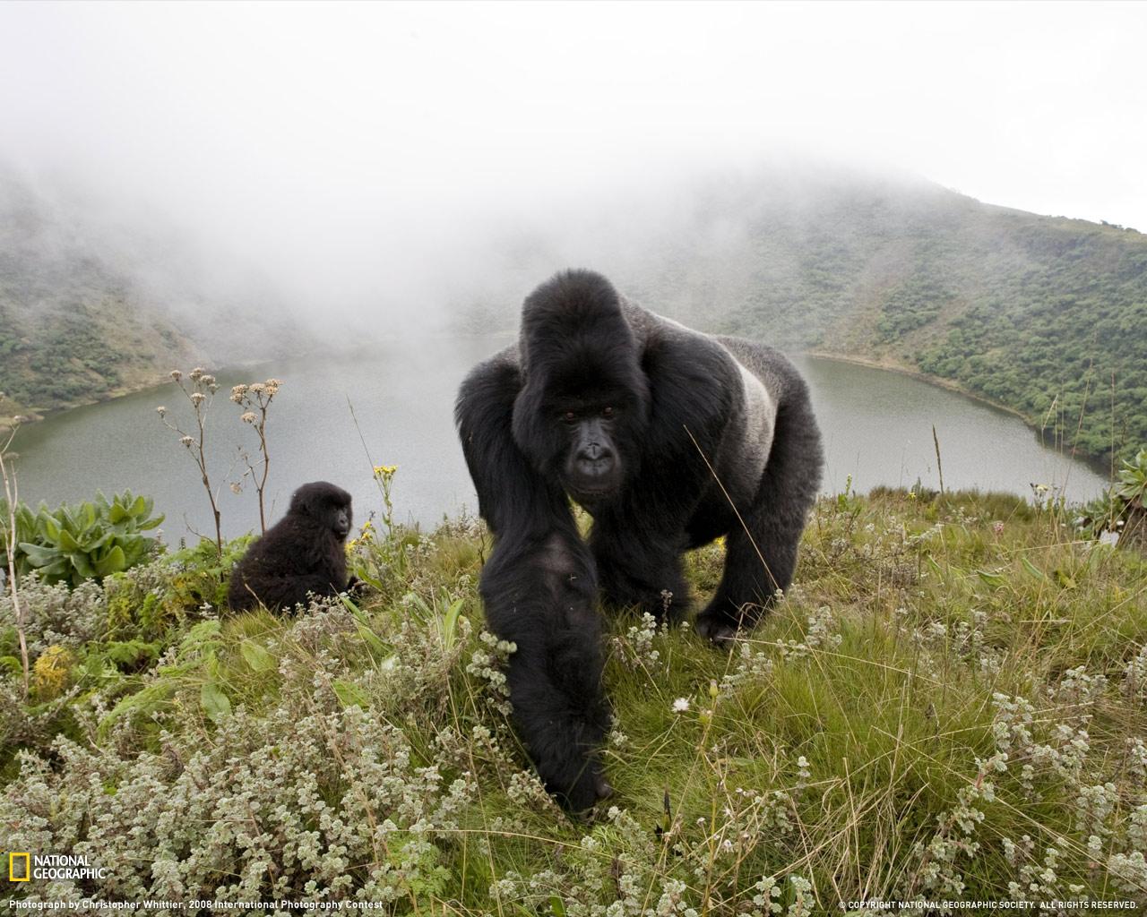 Gorilla en la niebla online dating 9