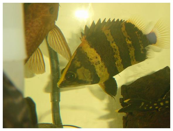 印尼苏门答腊岛龙鱼_泰国虎~~~~~~~~~~~~~~~~【龙鱼吧】_百度贴吧