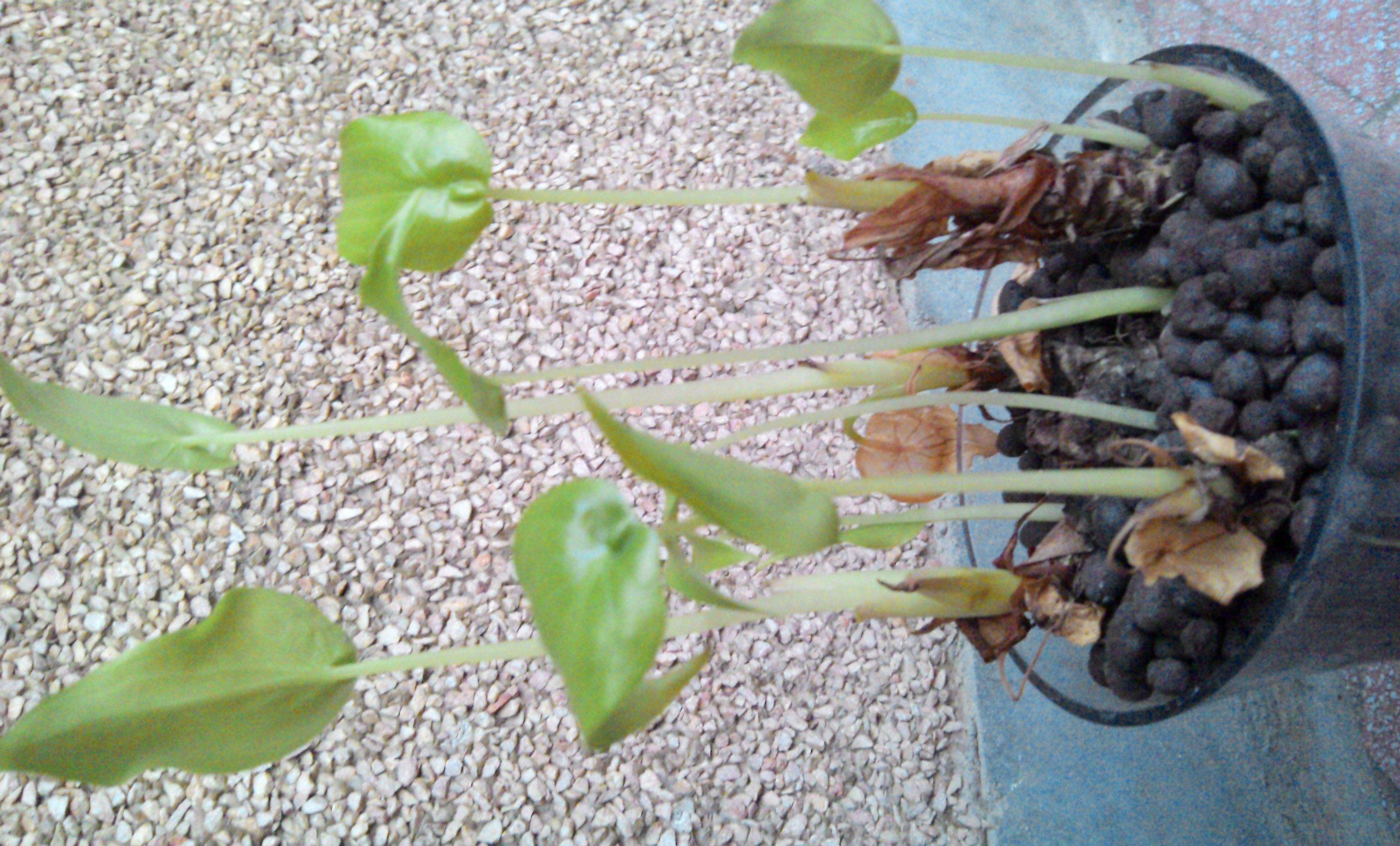 水培千手观音怎么养_千手观音和滴水观音是同一种植物吗?我养的水培的千手观音 ...