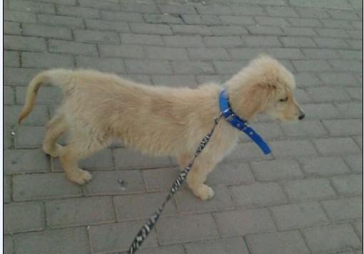 5个月金毛犬图片_大家看看是金毛吗,快5个月了,21斤,比我另一只狗狗8个月的 ...